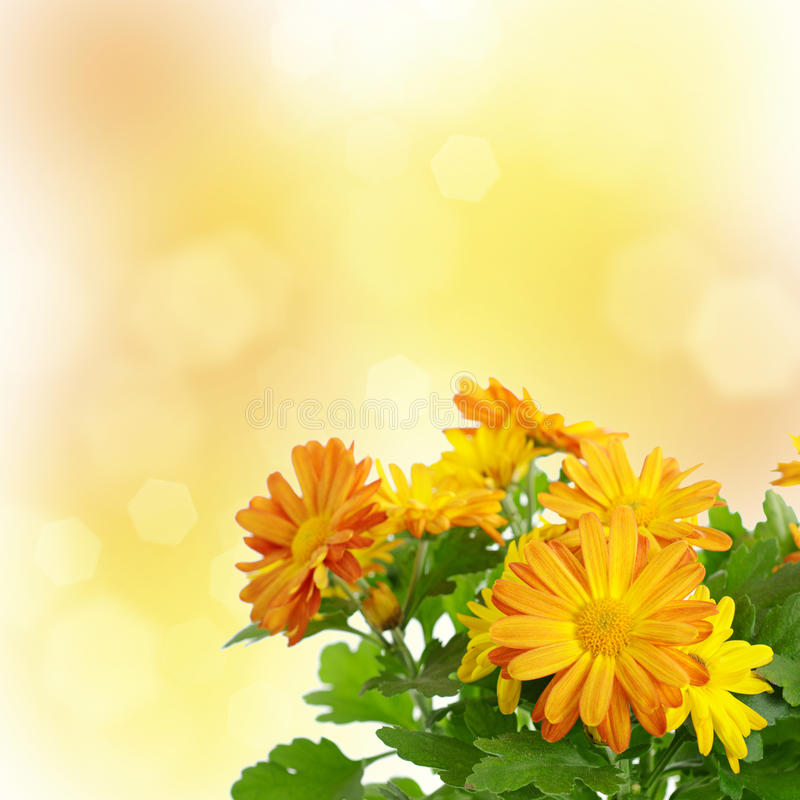 Blom- bakgrund för Chrysanthemum royaltyfri bild