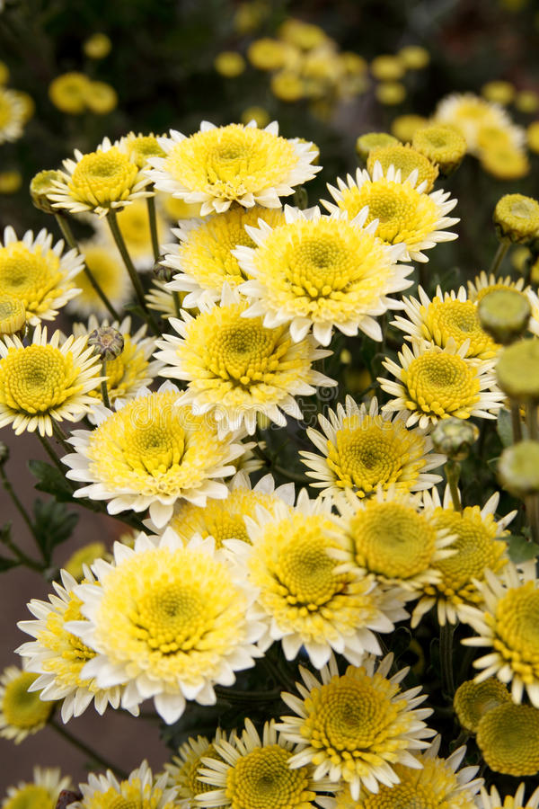 Chrysanthemumbakgrund arkivfoto