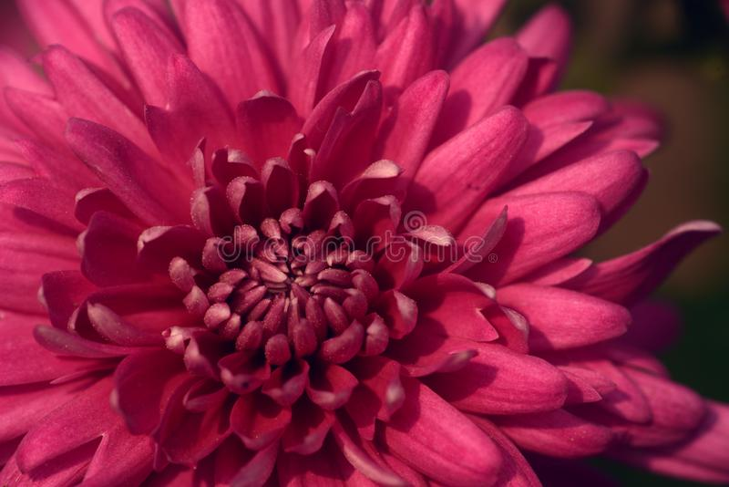 Chrysanthemumblomma: avsluta royaltyfri bild
