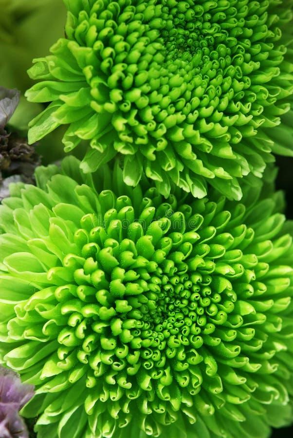 chrysanthemumblommagreen royaltyfria foton