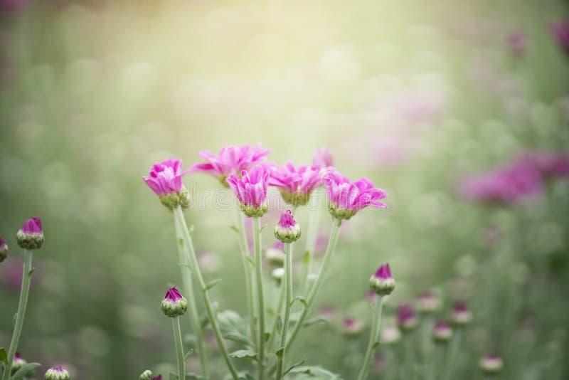 chrysanthemumen blommar pink royaltyfria bilder