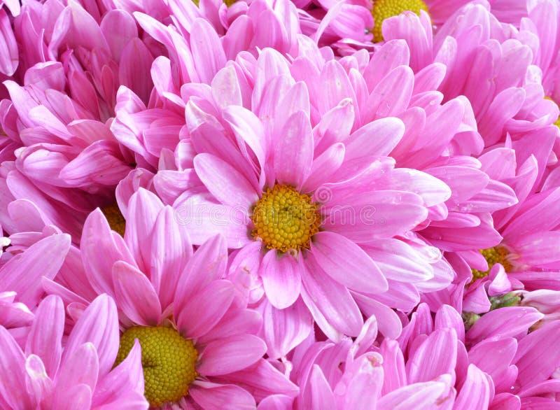 chrysanthemumen blommar pink royaltyfria foton
