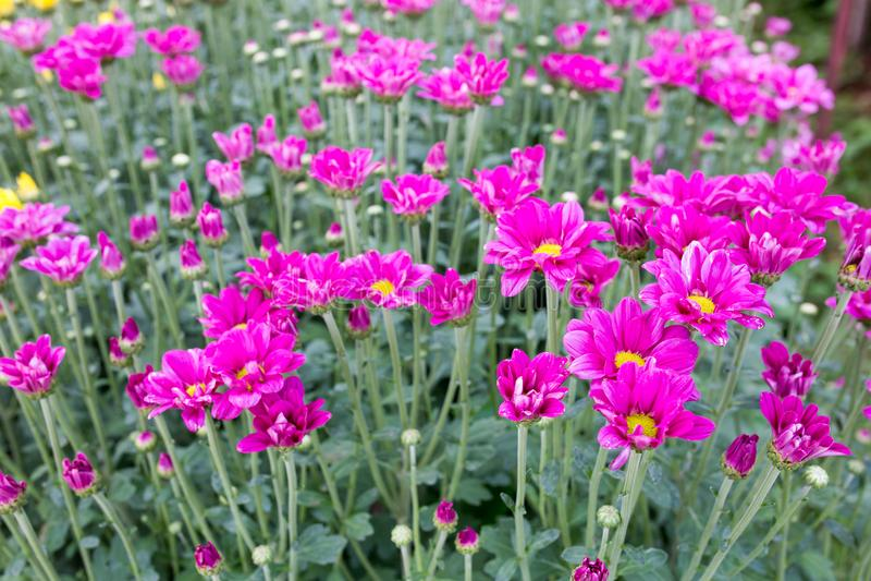 chrysanthemumen blommar pink royaltyfri bild