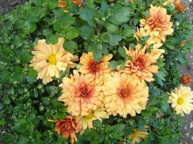 chrysanthemumen blommar yellow arkivbilder