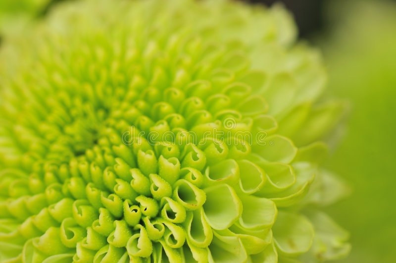 chrysanthemumgreen royaltyfri foto