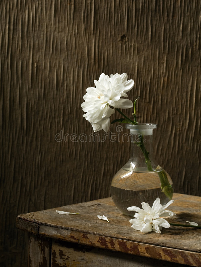 chrysanthemumlivstid fortfarande arkivbilder