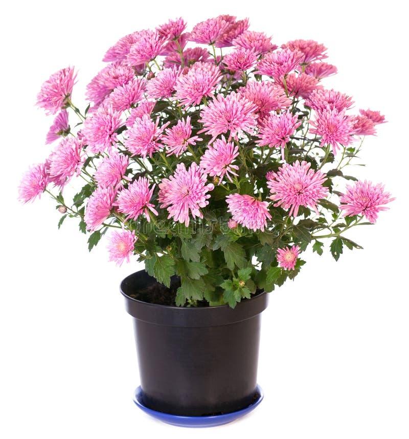chrysanthemumpink royaltyfria bilder