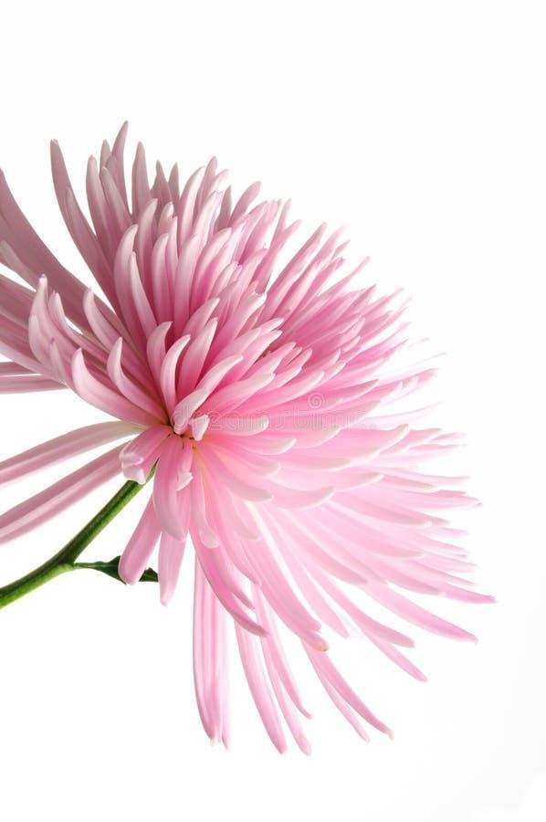 chrysanthemumpink arkivfoto