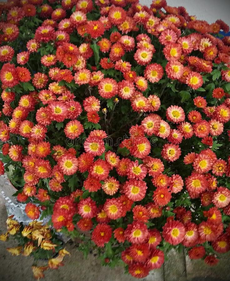 chrysanthemums images stock