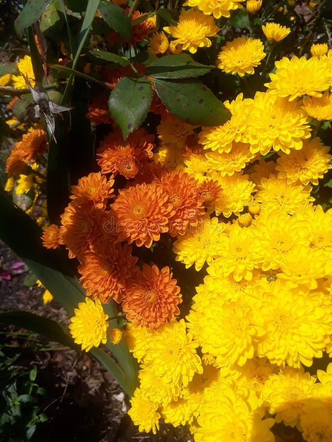chrysanthemums photo stock