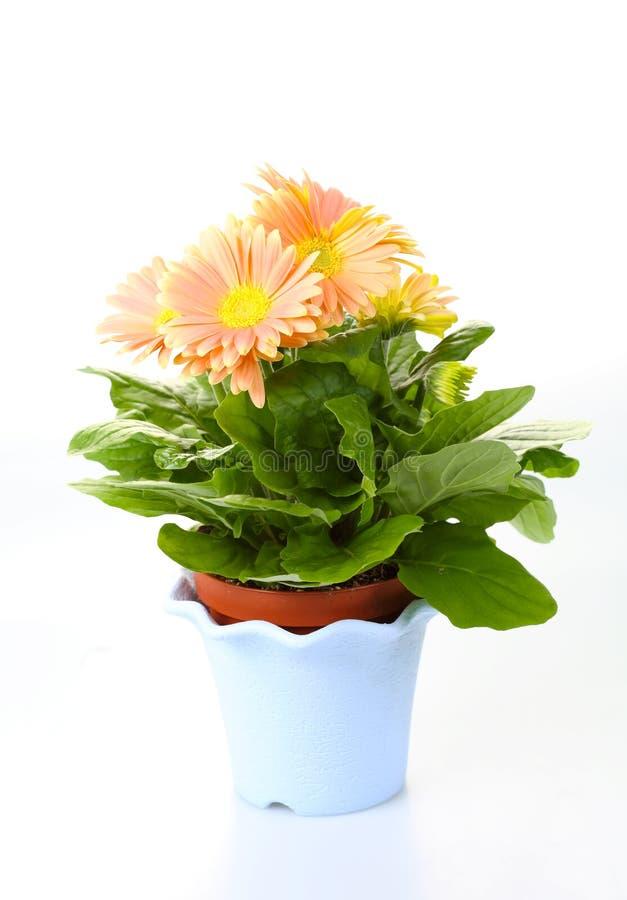 Free Chrysanthemums Stock Images - 14031464