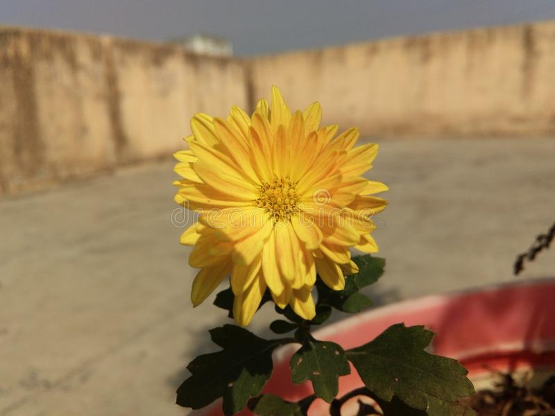 chrysanthemums royaltyfri foto
