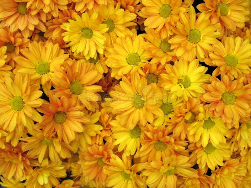 chrysanthemums arkivfoto