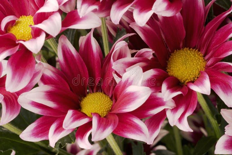 chrysanthemums royaltyfria foton