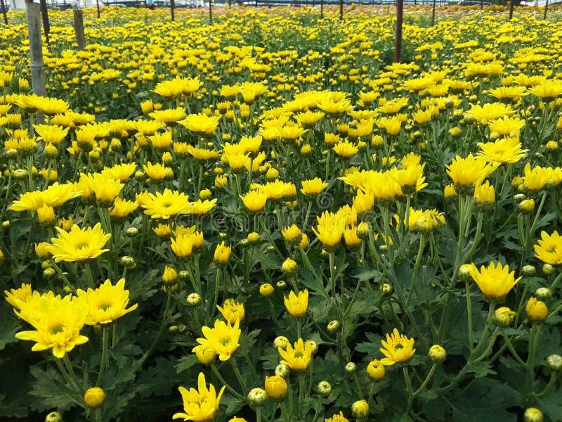 chrysanthemums arkivbild