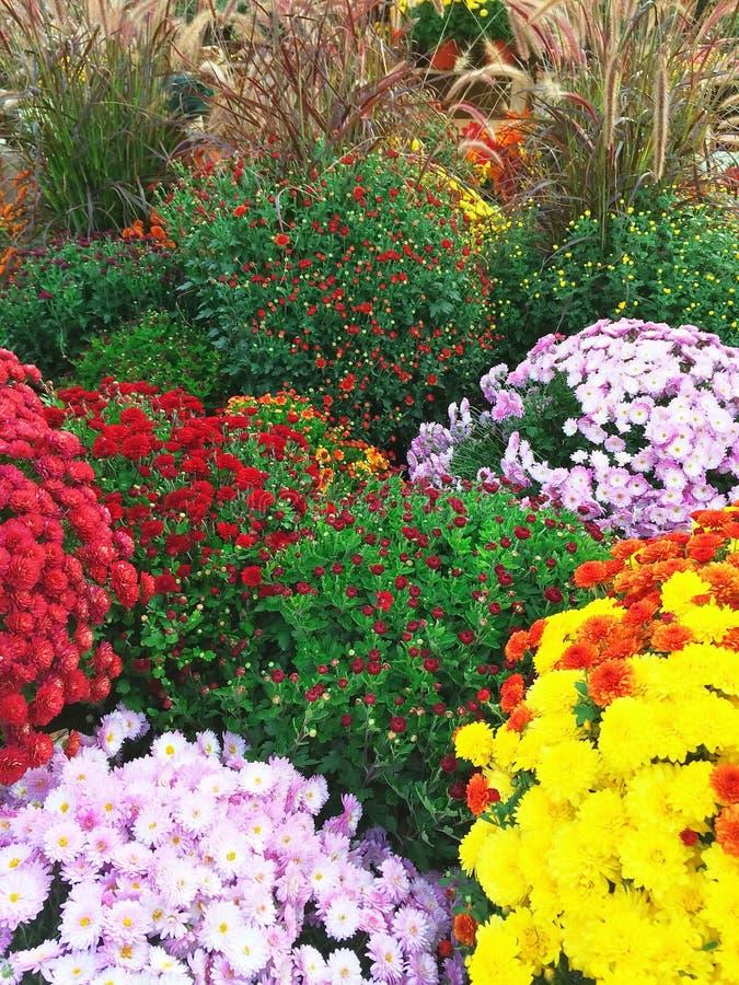 Chrysanthemums colorés d'automne images stock