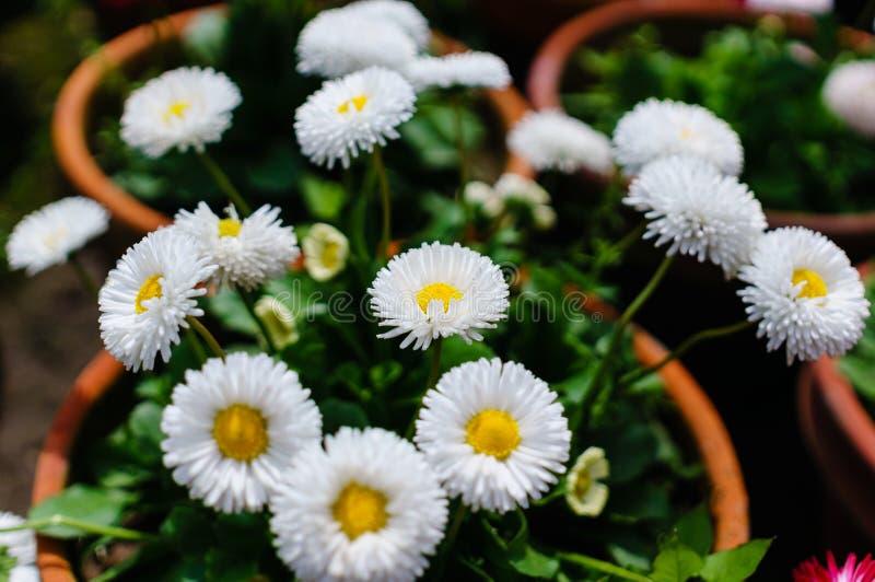 Chrysanthemums royalty free stock photography