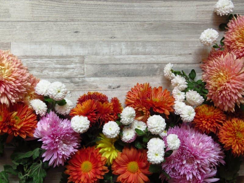 chrysanthemums Différentes couleurs vibrantes des fleurs diverses de chrysanthème sur le fond rustique en bois blanc photo stock