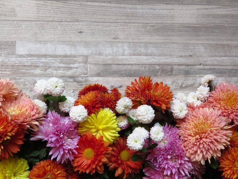 Chrysanthemums. Different vibrant colours of diverse Chrysanthemum flowers on white wood rustic background. Beautiful autumn natural garden flowers. Suitable stock image