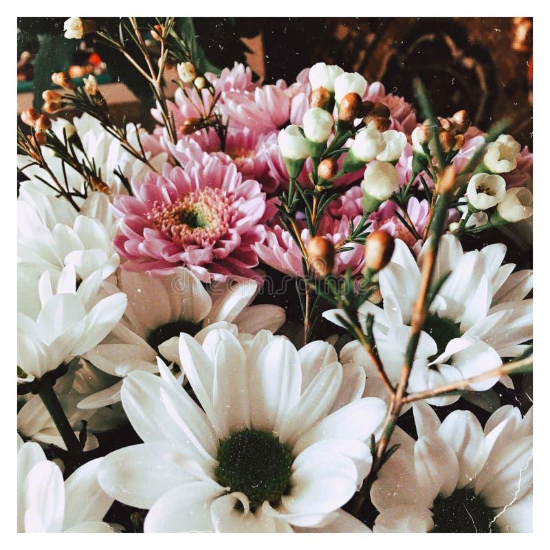 chrysanthemums foto de stock