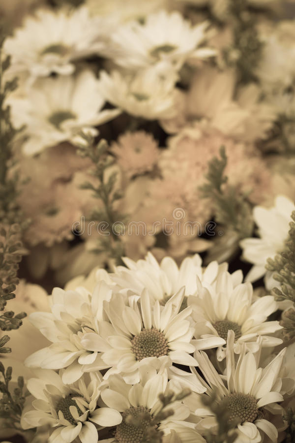 Chrysanthemums flowers in blurred style royalty free stock photo