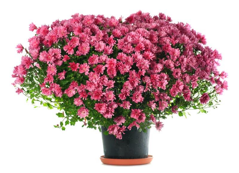 Chrysanthemums flowers in heart shape stock image