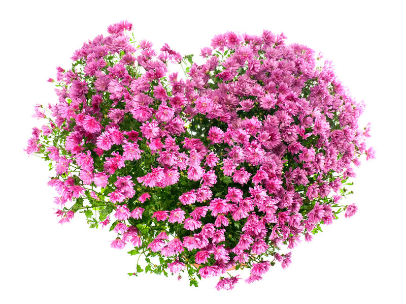 Download Chrysanthemums Flowers In Heart Shape Royalty Free Stock Image - Image: 14890096