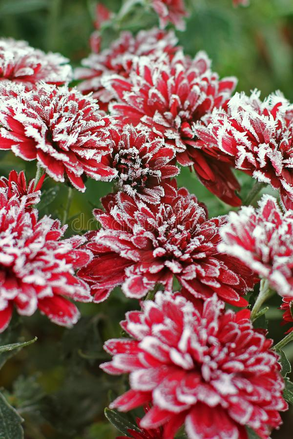 Chrysanthemums in the frost. Flowers in winter.  royalty free stock photos