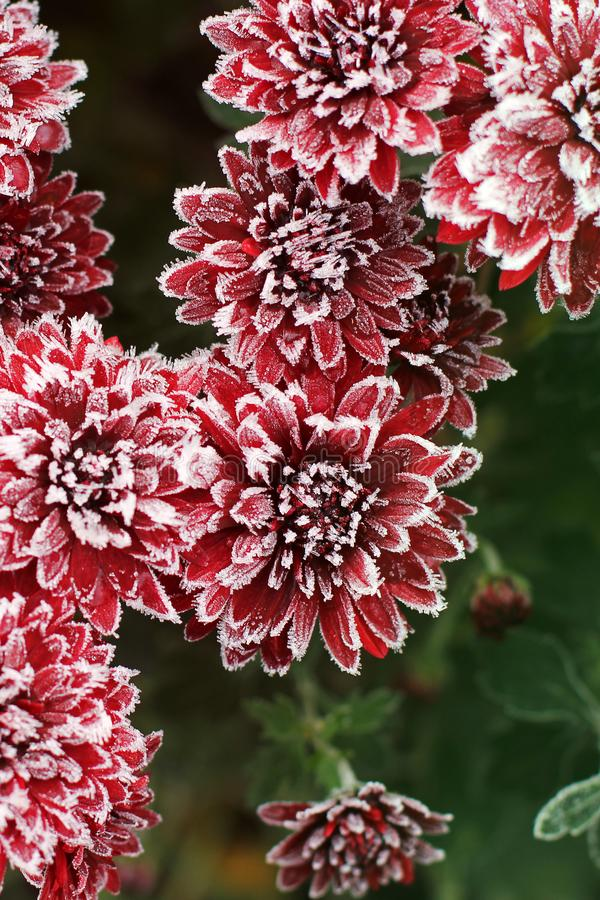 Chrysanthemums in the frost. Flowers in winter.  royalty free stock image