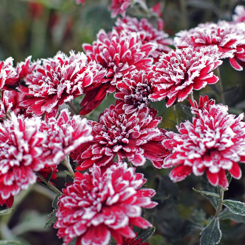Chrysanthemums in the frost. Flowers in winter.  royalty free stock photo