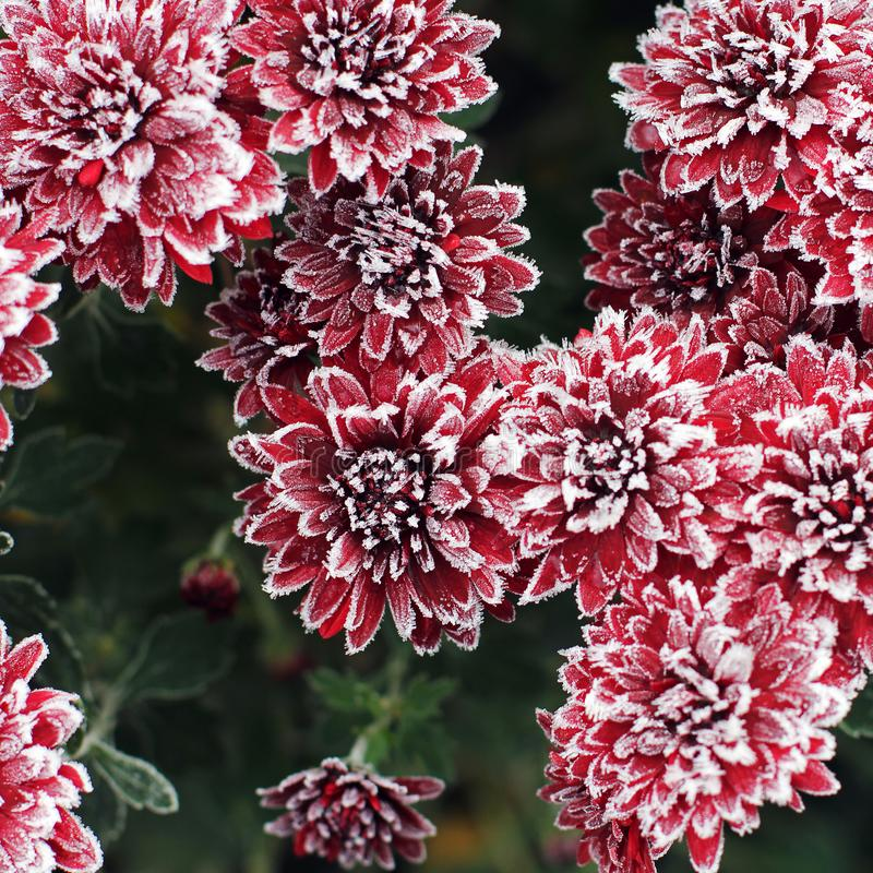 Chrysanthemums in the frost. Flowers in winter.  royalty free stock photography
