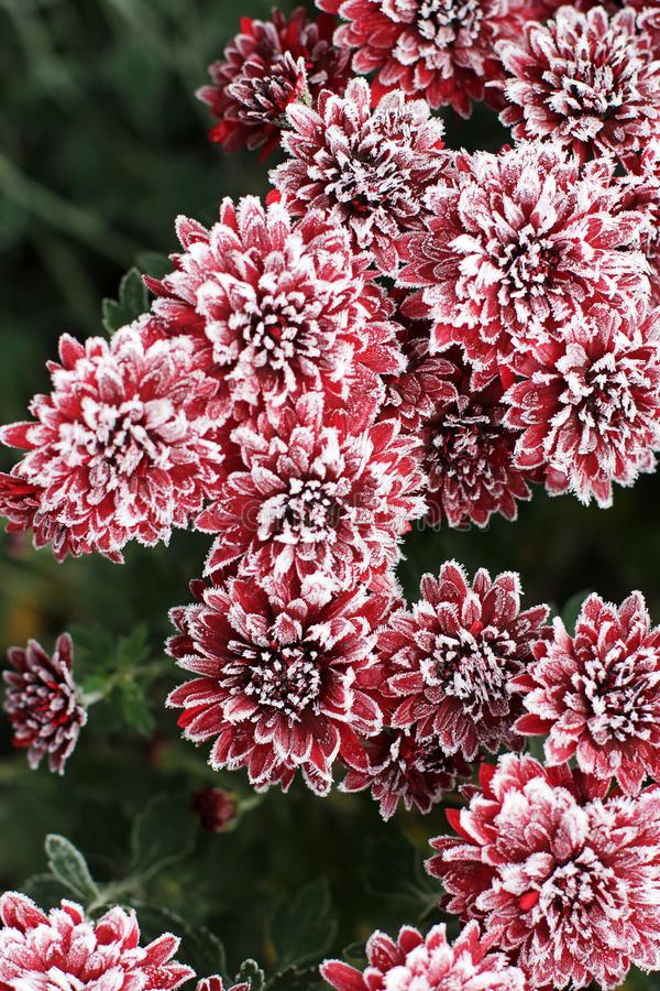 Chrysanthemums in the frost. Flowers in winter.  stock photo