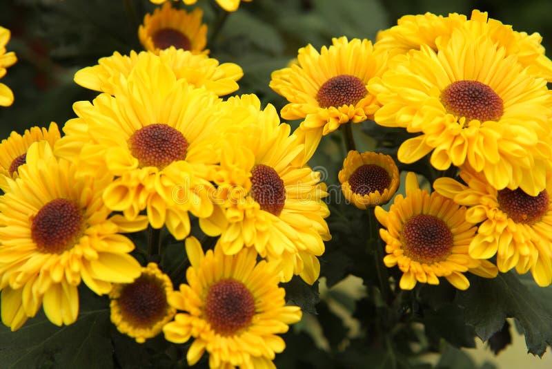 Chrysanthemums jaunes photo libre de droits