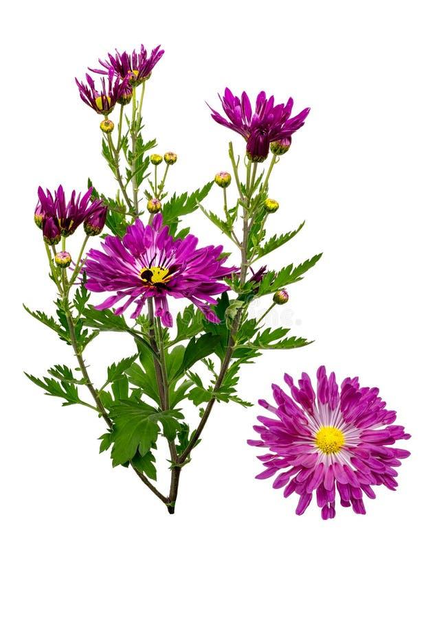 Chrysanthemums sur le blanc image stock