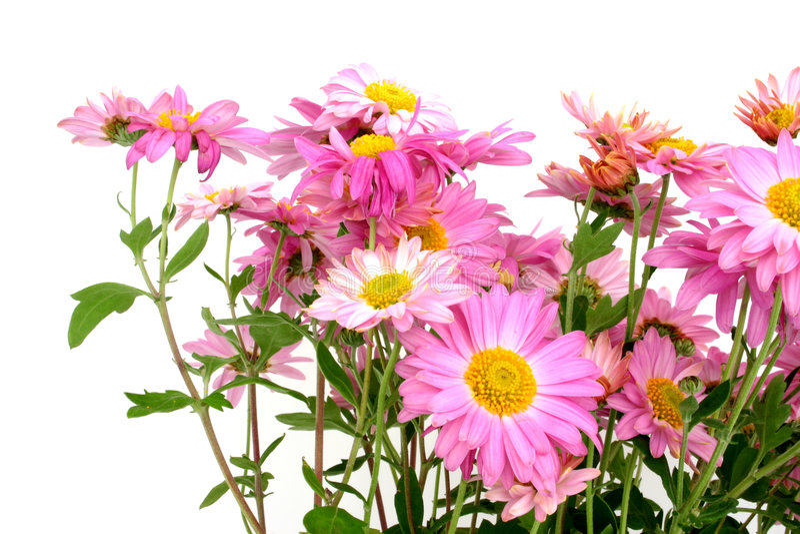 Chrysanthemums sur le blanc photos stock