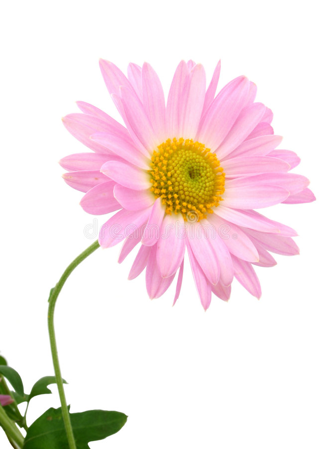 Chrysanthemums on white stock photography