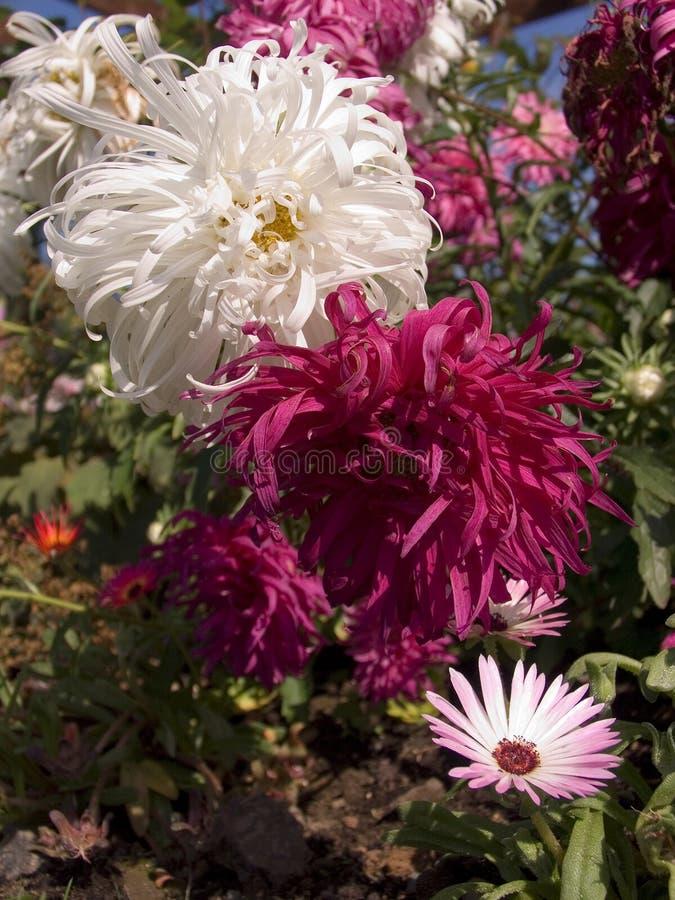 chrysanthemumssnowdrift royaltyfria bilder