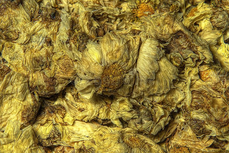chrysanthenum 库存图片