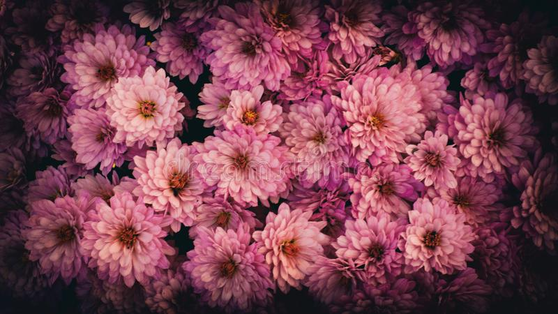 Chrysanthenum in the garden. stock images
