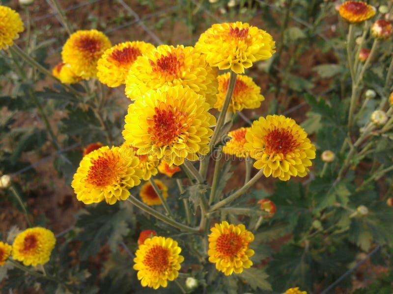 Chrysanthmum стоковые изображения rf