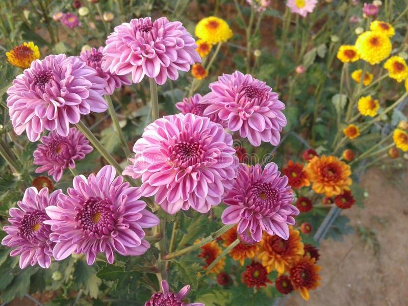 Chrysanthmum стоковые фото