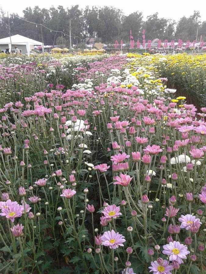 Chrysanthmum стоковое фото rf