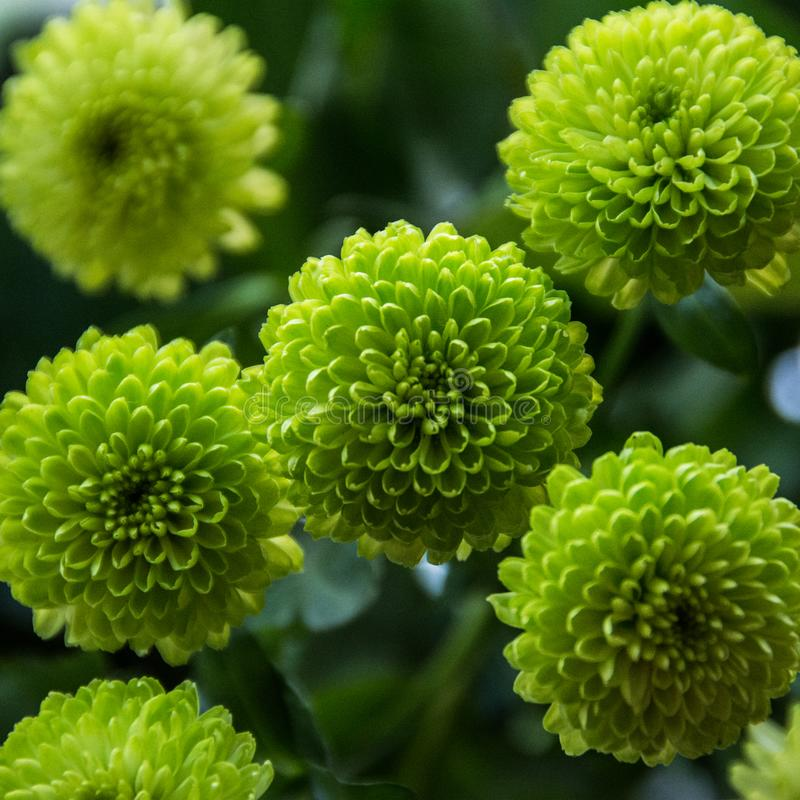 Chrysanths 库存图片
