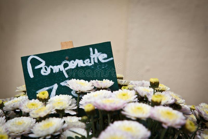 chrysanths arkivfoton