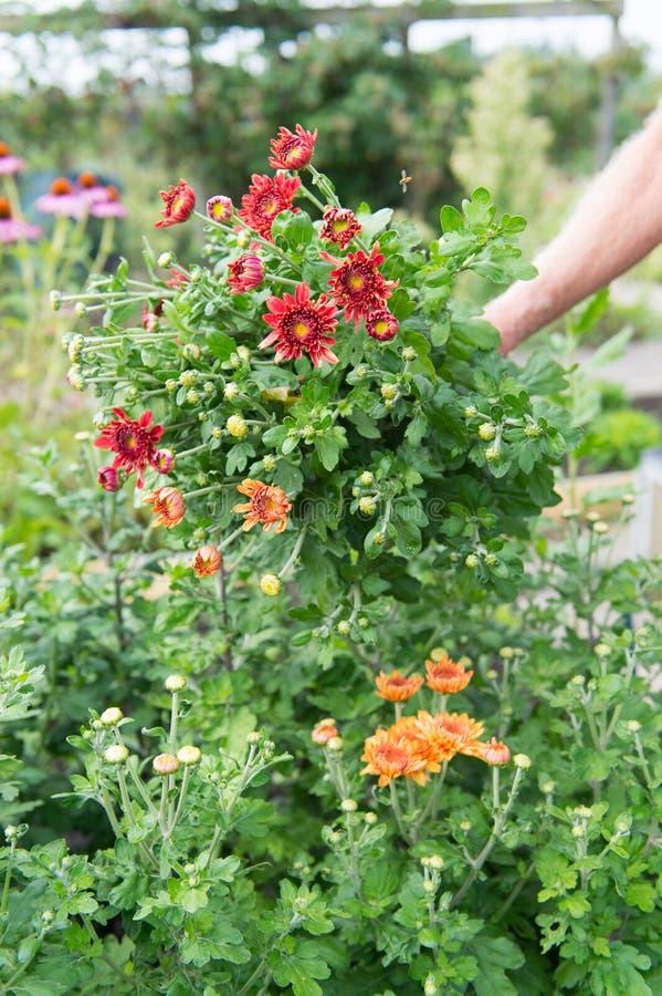 Chrysanths del ramo en jardín fotografía de archivo