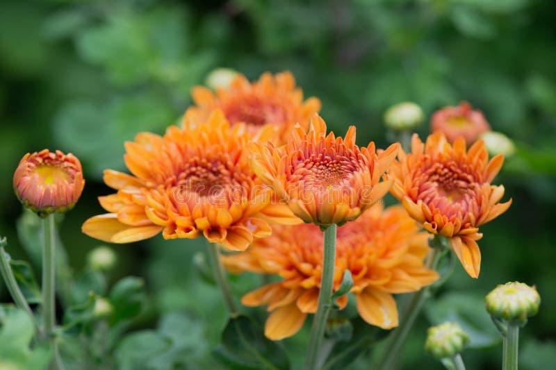 Chrysanths en jardín fotos de archivo libres de regalías