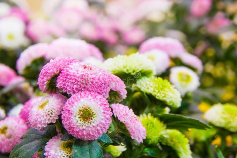 Chrysanths florecientes hermosos en jardín botánico del otoño imagen de archivo