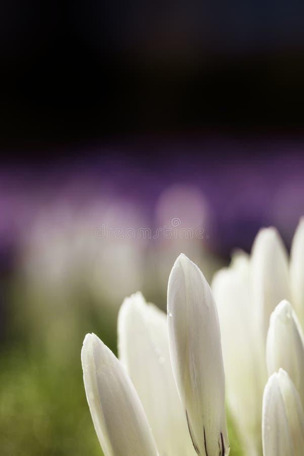 Chrysanthus del croco - un campo dei crocusses bianchi e porpora immagini stock