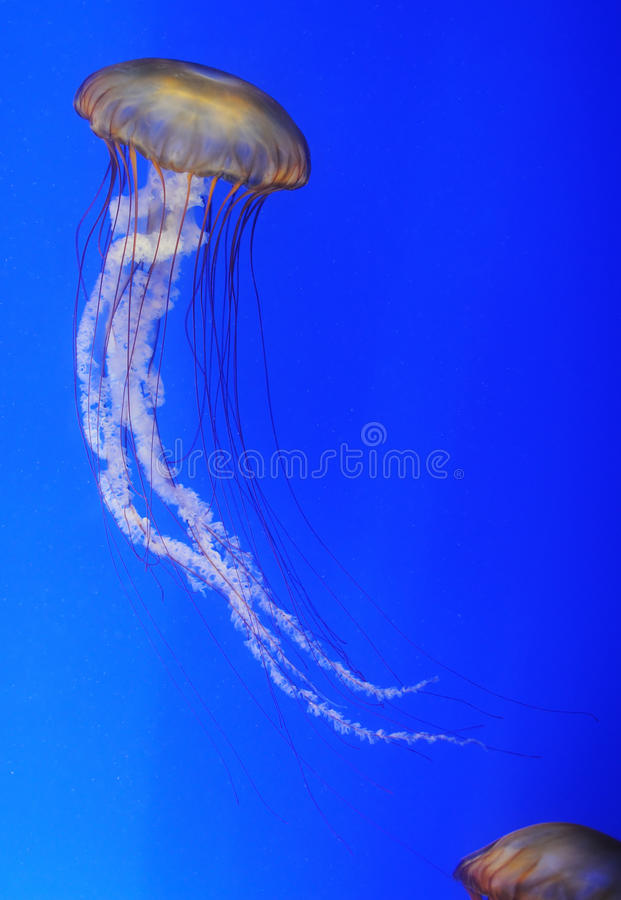 Chrysaora fuscescens jellyfish stock photography