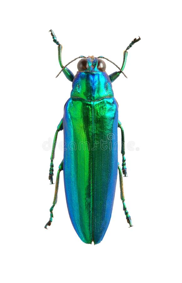 Download Chrysochroa wallacei stock image. Image of fauna, close - 18150553